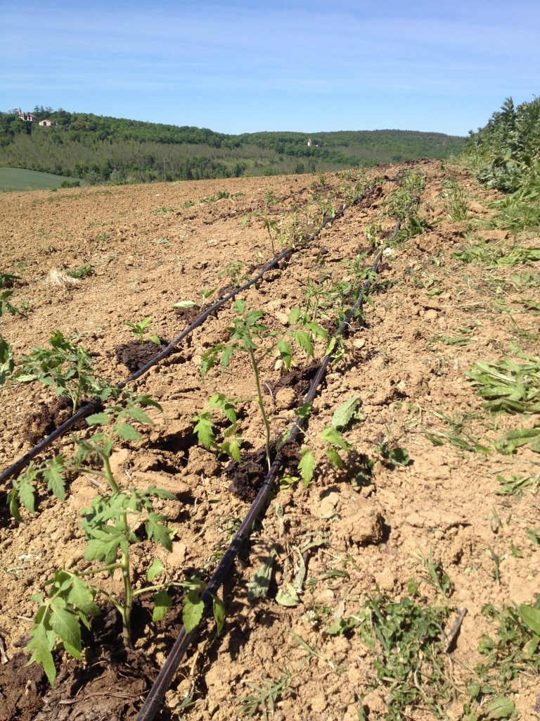 Organic Farm Tomatoes